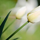 fragile straight tulip by lockstockbarrel