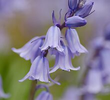 Bluebells by English Landscape Prints