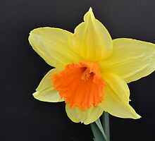 Bright Yellow Daffodil by Kathleen Brant