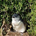 Little Penguin, Phillip Island by Reneefroggy