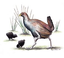 Tasmanian Nativehen by Meaghan Roberts