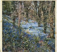 Bluebell Forest in Spring by maratshdey