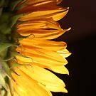 Sunflower Pillow by fsmitchellphoto