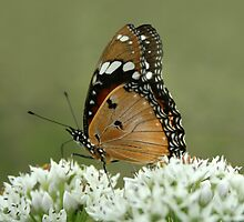 "Miss butterfly... ""Danaus chrysippus (African monarch)"" Free State, South Africa by Qnita"