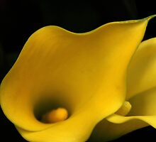 Happy Frills... Cala Lilies, Free State, South Africa by Qnita