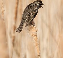 Female Red-winged Black Bird by Thomas Young