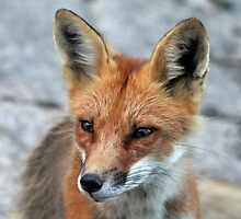 Red Fox Portrait by Debbie Oppermann