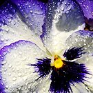 Pansy in the sun by Tori Snow