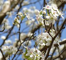 The bradford pear is the first to fluff up by violetraines