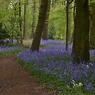 Bluebell Wood by Carla Maloco