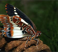 WHITE BARRED EMPEROR - CHARAXES brutus natalensis by Magaret Meintjes