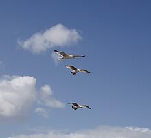 Three Gulls in stacked flight by James  Key