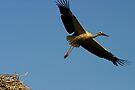 Flying Stork by Jens Helmstedt