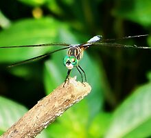 Dragonfly Green by barryherald