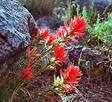 Post rain Indian Paintbrush by SB  Sullivan
