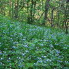 Field of Blue-eyed Mary by Lynn Gedeon