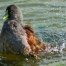 57 grebe splash by pcfyi