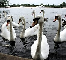 Swans where are they looking by santoshputhran