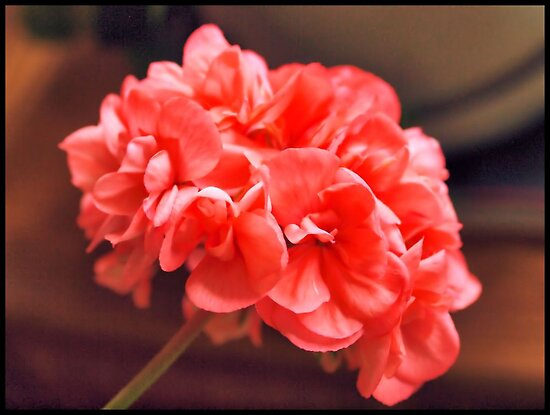 Sarah's Geranium by tvlgoddess