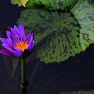 Singaporean Lily by Marius Brecher