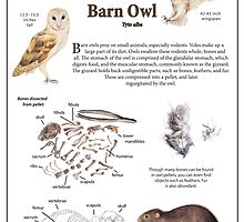 Diet of the Barn Owl by Lauren Rakes
