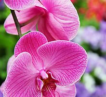 Pink Orchid by Alison Hindenlang