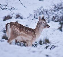 Baby deer in the Snow by photoart1