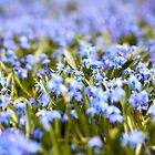 Blue Flowers by Candypop