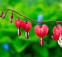 Bleeding Heart Flowers by Kenneth Keifer