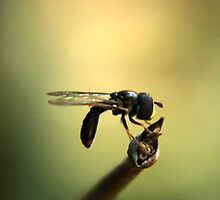 Hover Fly... Syrphidae by Qnita