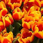 Fire Tulips by Aileen David