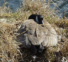 Canada Goose on a Nest by rhamm