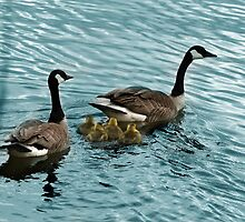 Pair of Adult Canada Geese with Goslings by rhamm