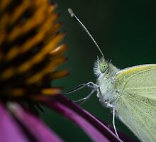 Pale Butterfly by Charles Dillane