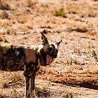 Wild dog by brians101