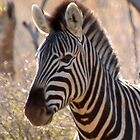 Zebra, portrait. by brians101