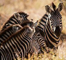 Family - zebra. by brians101