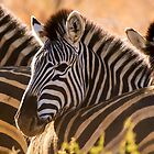 Zebra. by brians101