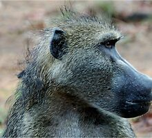 A PENNY FOR YOUR THOUGHTS! - THE CHACHMA BABOON - Papio ursinus - BOBBEJAAN by Magaret Meintjes