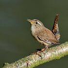 Northern Wren - II by Peter Wiggerman