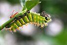 Rothschildia Caterpillar by Jo Nijenhuis