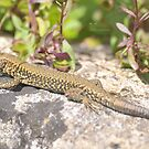 """ Basking In The Sun "" (Sand Lizard) by Richard Couchman"