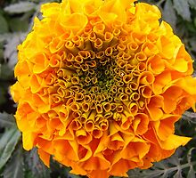 African Marigold by James Brotherton