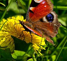 Peacock Butterfly by Violaman