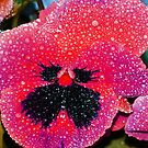 Hot Pink Pansy by Tori Snow