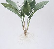 Convallaria majalis (Lily of the Valley) by Bridgeman Art Library