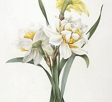 Narcissus gouani (Double Daffodil) by Bridgeman Art Library