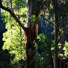 Tall Eucalyptus Tree at Sunset by Lozzar Landscape