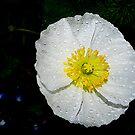 White Iceland Poppy by Tori Snow