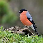 Bullfinch by Peter Wiggerman